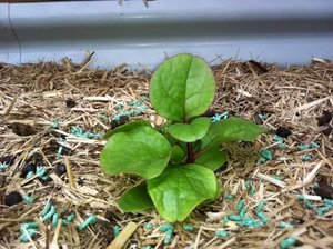 Red Malabar spinach seedling
