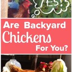Chicken-Curious? How to know if Backyard Chickens are for you…